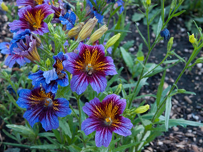 Salpiglossis - Royale Purple Bicolor