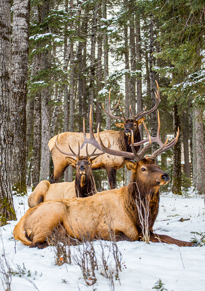 3 Elk December 2019 Waskesiu - final edit.jpg