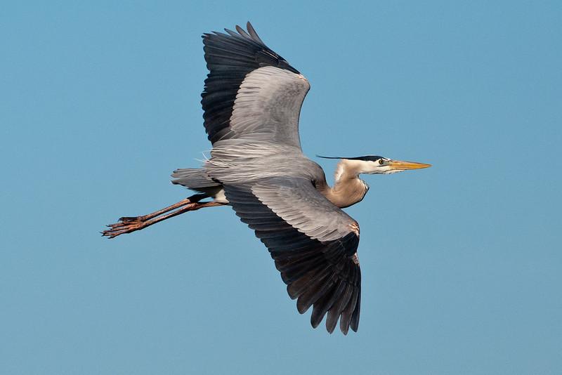 Heron - Great Blue -  Viera Wetlands, FL - 01