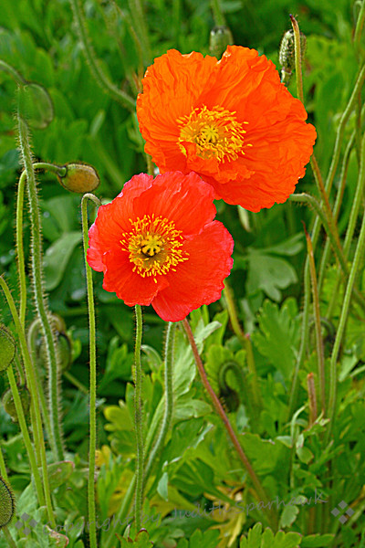 Poppies Two.jpg