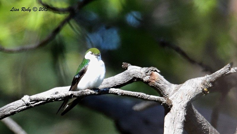Violet-green Swallow -  4/11/2015 - Stonewall Mine trails