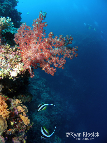 Soft coral on wall dive