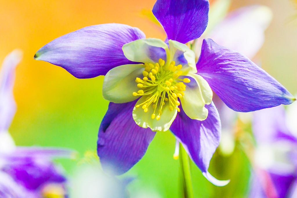 耧斗花,光鲜亮丽