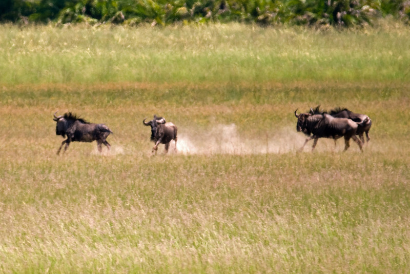 Distant Wildebeest kick up some Kalahari sand