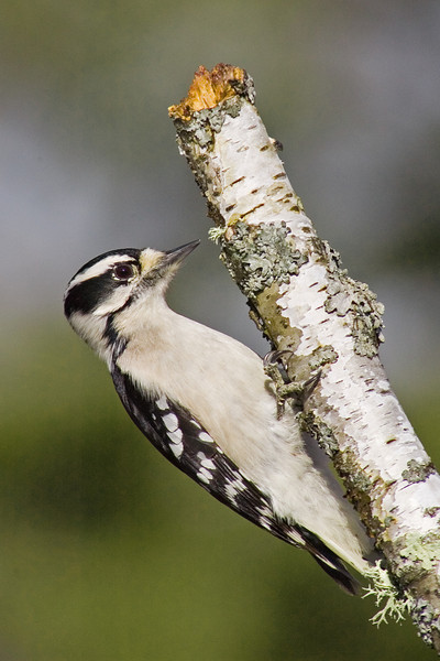 Woodpecker - Downy - female - Dunning Lake - Itasca County, MN