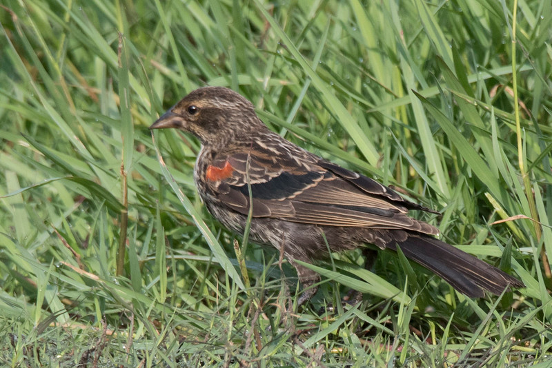 Immature male Red-winged black bird.