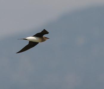 Aropääskykahlaaja (Glareola nordmanni)