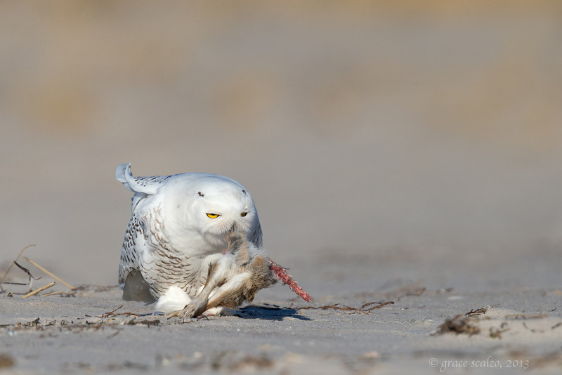 Snowy owl eating rabbit 7_O8U2094-Edit.jpg