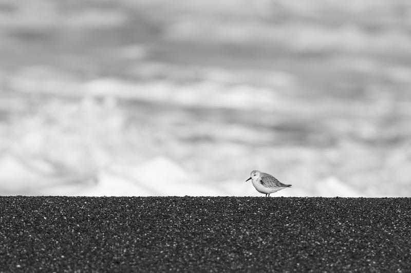 Sanderling - Pacifica, CA, USA
