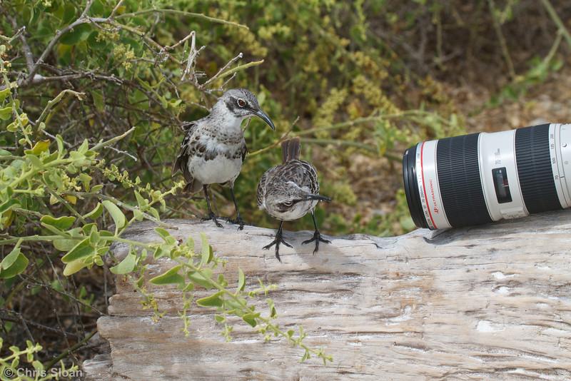 Espanola Mockingbird at Gardner Bay, Espanola, Galapagos, Ecuador (11-21-2011).jpg