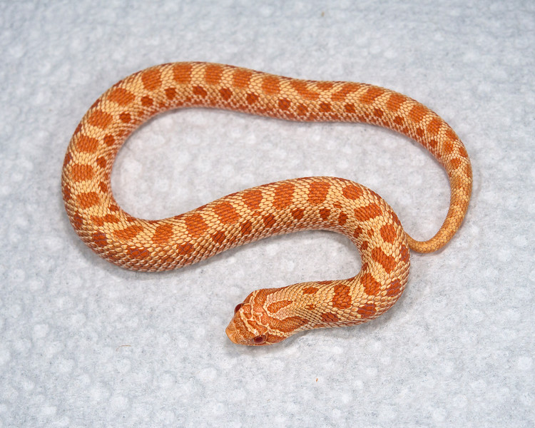 Albino Anaconda Hognose (HG13), Female, 10 grams, $200 - sold, Mark V.