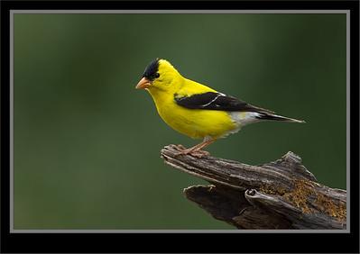 Crossbills, Finches,Grosbeaks, Redpolls, Siskins,