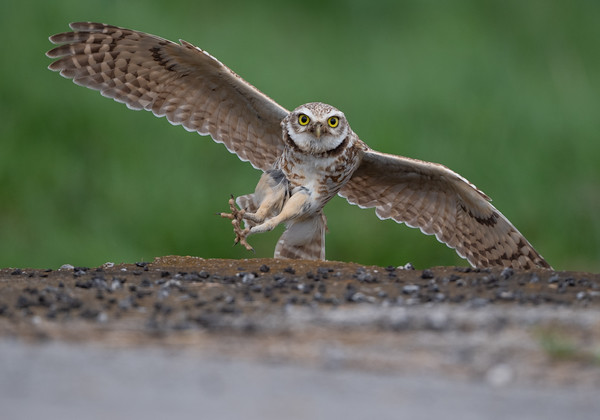 Owls and other raptors