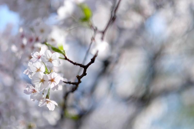 Namsan_Cherry_Blossoms_PhotoWalk-0012.jpg