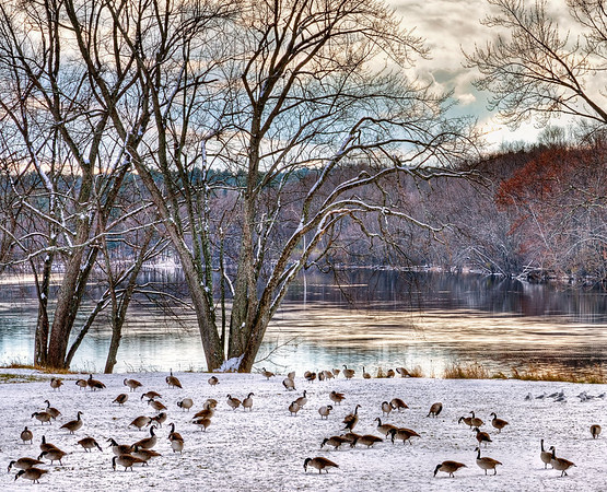 Canada Geese by River
