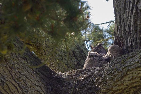 GoldenGatePark Great Horned Owls