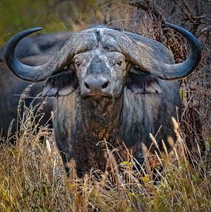 Cape Buffalo of Tanzania