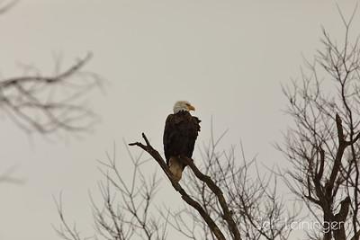 Dreary Eagle