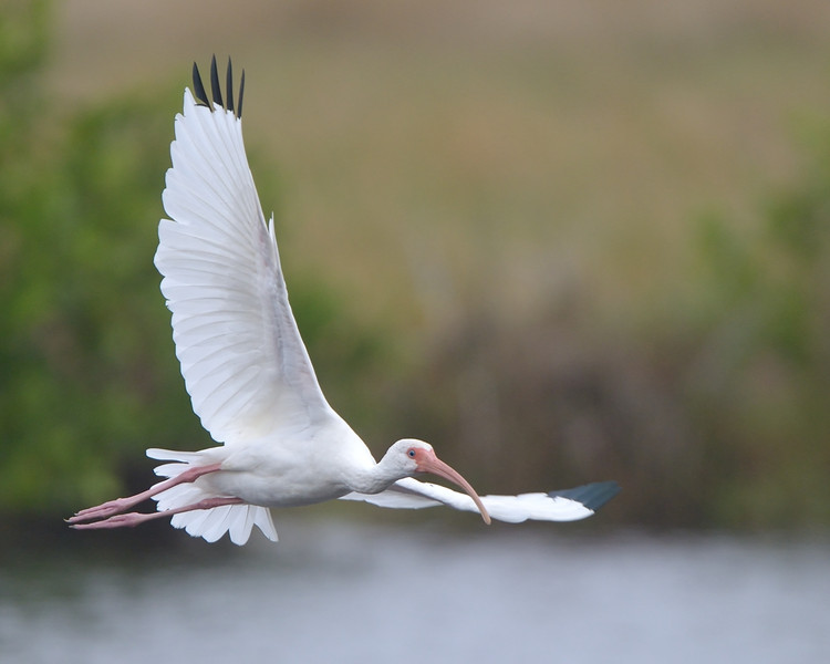White Ibis Biolab Road Merritt Island NWR, Florida December 2012
