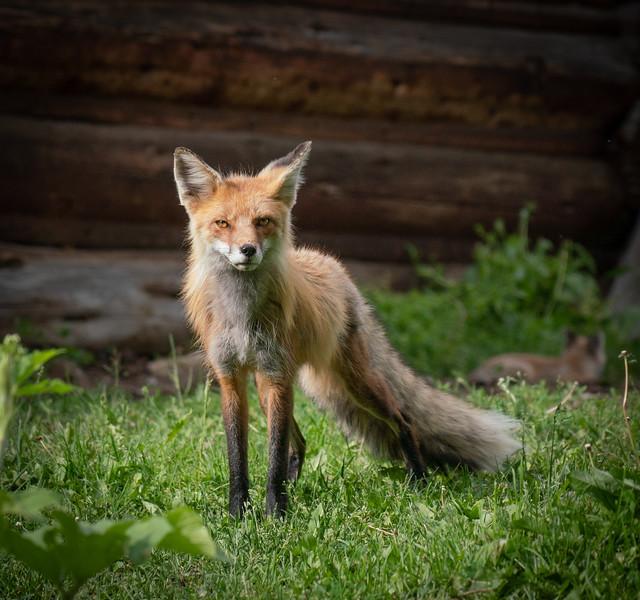 Suspicious Mama Fox