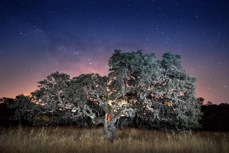 Midnight Oak, Sonoma Valley, California