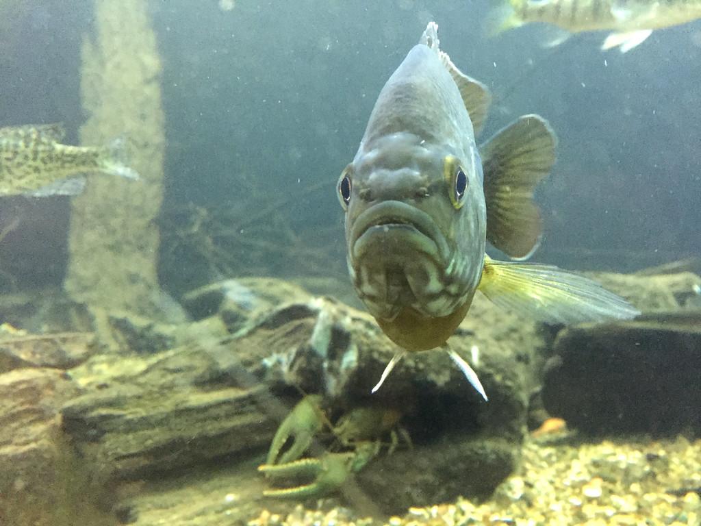 . A panfish at the Belle Isle Aquarium in Detroit. (Andrew Kidd/Digital First Media)