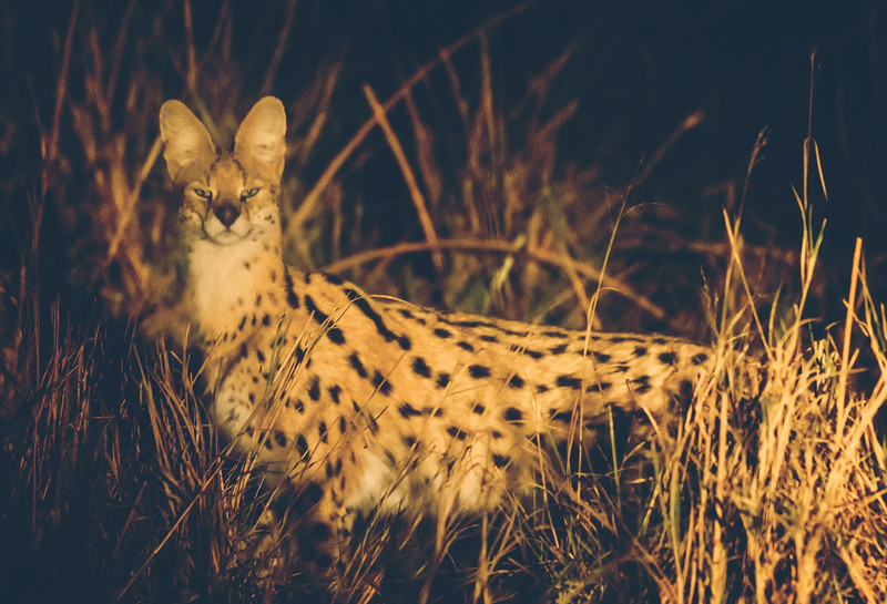 The Sleek Serval