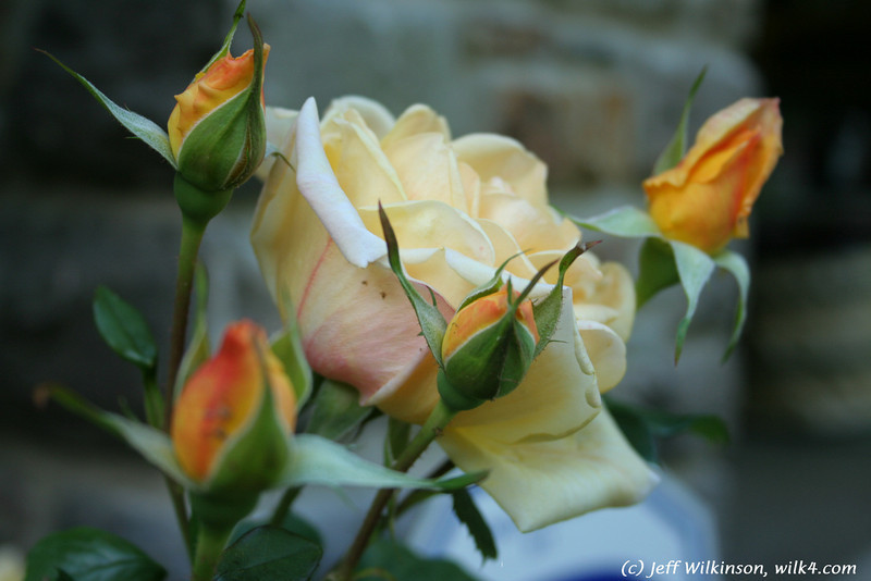 IMG_7844-flower-rose-yellow.jpg