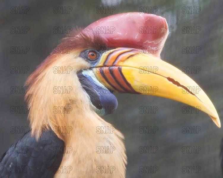 Sulawesi Red-knobbed Hornbill