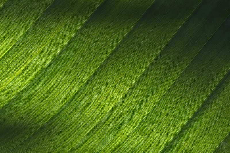 Minimalist bird of paradise leaf macro
