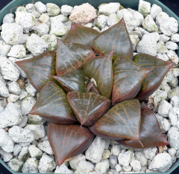 Haworthia emelyae var comptoniana