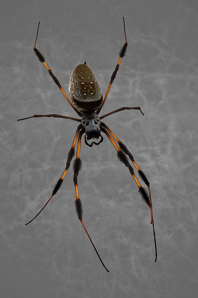 Florida Spider-2.jpg