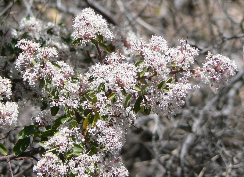 DMCeanothus985 April 15, 2007  12:56 p.m.  P1000985 Ceanothus, great nectar plant of western hairstreaks