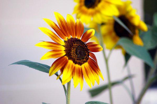 sunflower_2_by_victorg6546.jpg