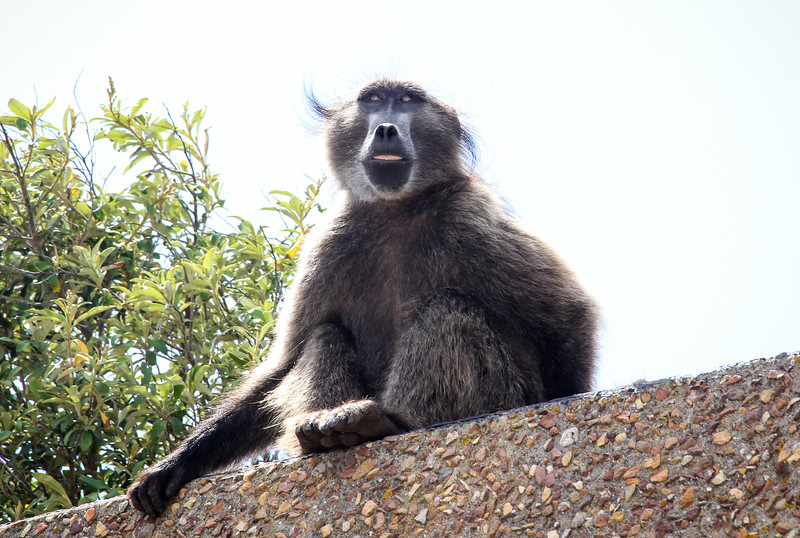 Baboon at Cape Point-0278.jpg