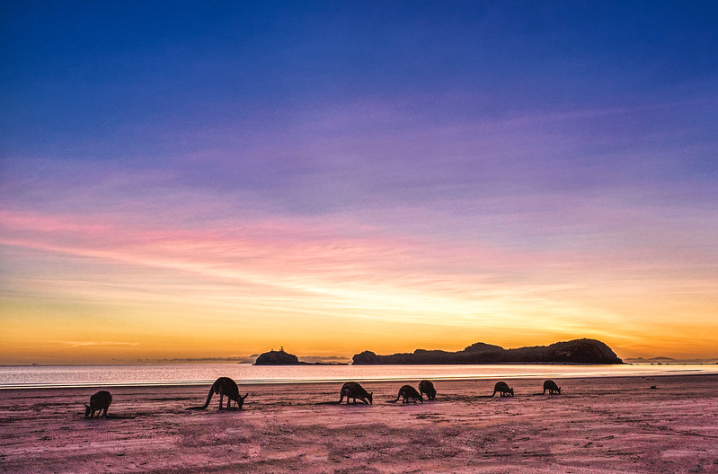 Macropods on beach Cape Hillsborough_1.jpg