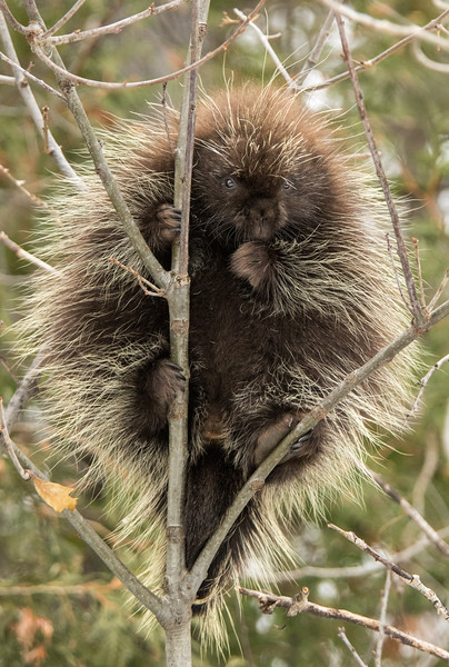 Porcupine 2 large.jpg