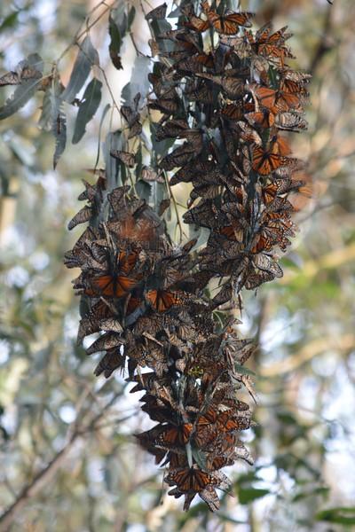 Monarch Butterflies Back in Santa Cruz....