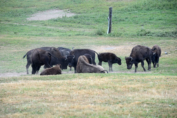 Bison at Thru View Farm