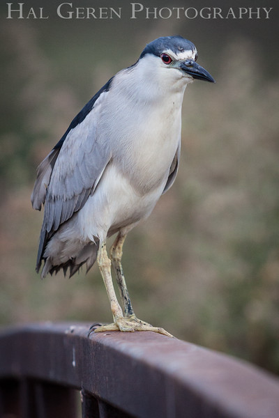 Black Crowned Night Heron Don Edwards National Wildlife Refuge, Fremont, California 1407R-BCNH2