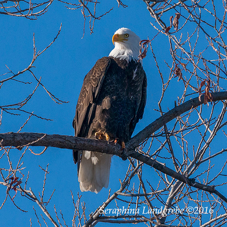 _DSC9687Seraphina Bald Eagle.jpg
