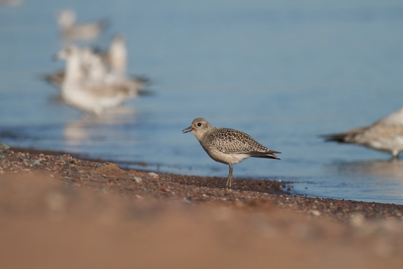 Black-bellied Plover Wisconsin Point Superior WI IMG_8872.jpg
