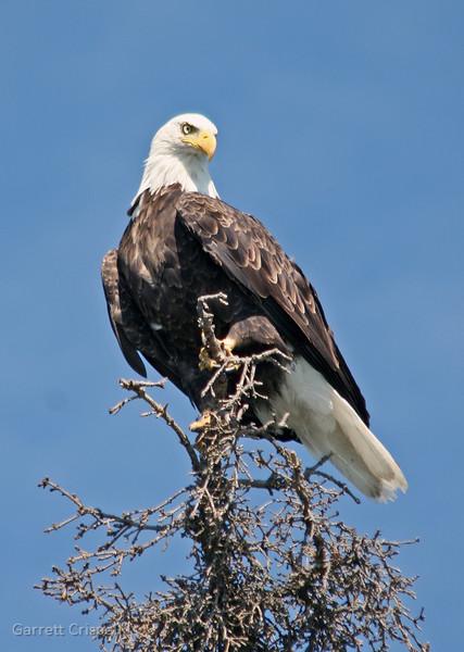 Bald Eagle I