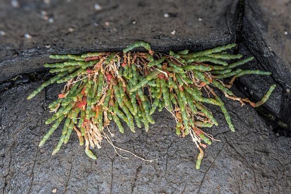 Glasswort - Sarcocornia quinqueflora