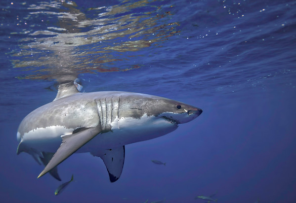 Great White Sharks Guadalupe Island