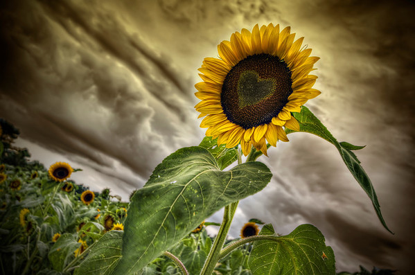 The Sunflower Fields