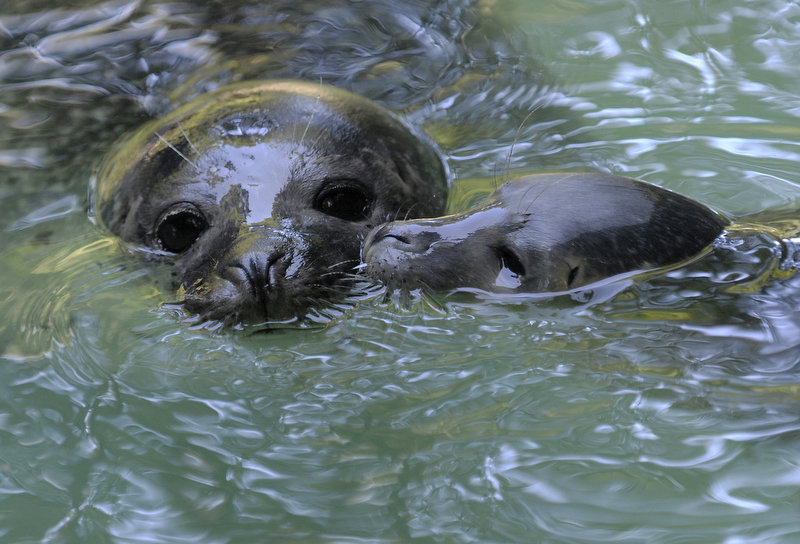 . A three-day-old baby seal swims with its mother in a  pool at the zoo in the western German town of Duisburg. The seal baby named Emmy already weighs six kilogram. (SASCHA SCHUERMANN/AFP/Getty Images)