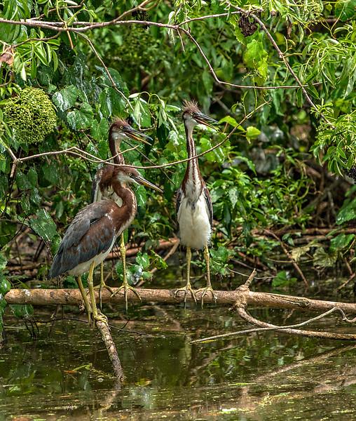Triplets....Tri-Colored Heron