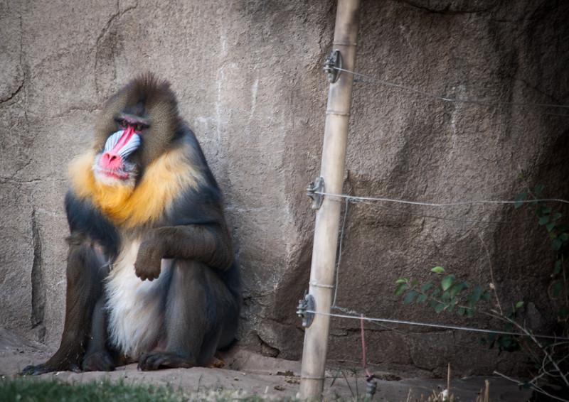 Baboon Thinking