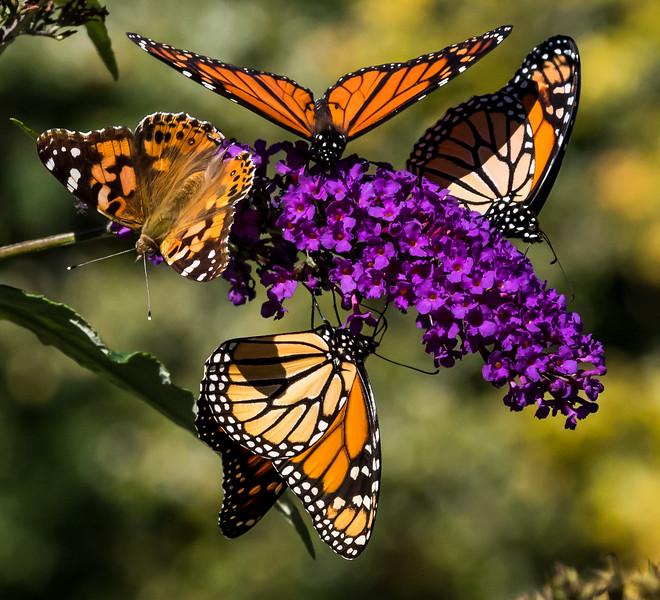 Butterflyliscious